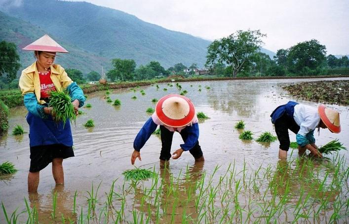 Выращивают рис